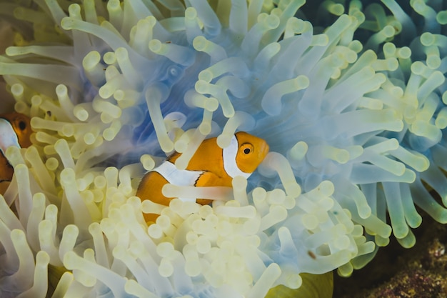 Clownfisch, der aus einer gelben anemone herauskommt.