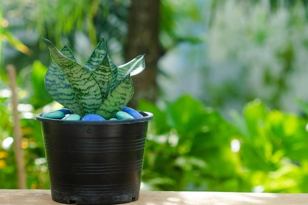 Cluse up sansevieria oder schlangenpflanze im topf