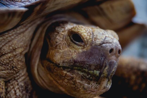 Coahuilan dosenschildkröte im tropischen garten. terrapene coahuila. tiere