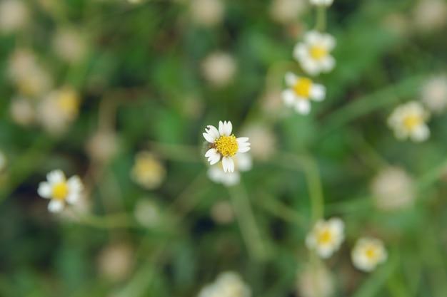 Coatbuttons, mexikanisches gänseblümchen, tridax procumbens, asteraceae, wildes gänseblümchen