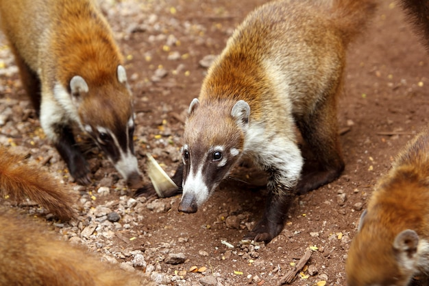 Coati-ring angebundenes tier nasua narica
