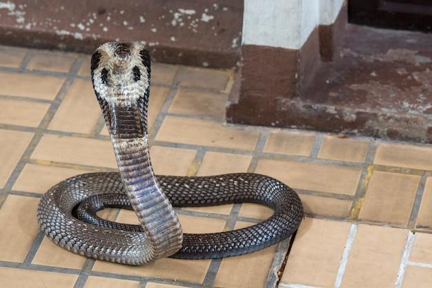 Cobra schlange