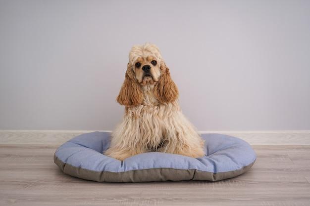 Cocker spaniel welpe auf seinem neuen hundebett auf einem grauen hintergrund.