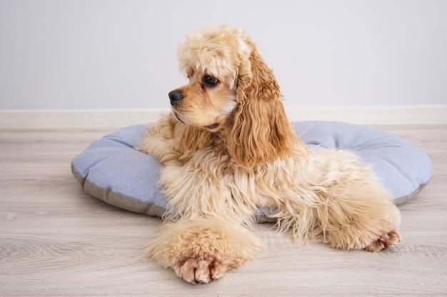 Cocker spaniel welpe, der auf seinem neuen hundebett, auf grauem hintergrund ruht.
