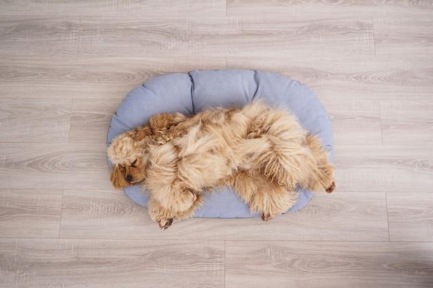 Cocker spaniel welpe, der auf seinem neuen hundebett ruht, draufsicht