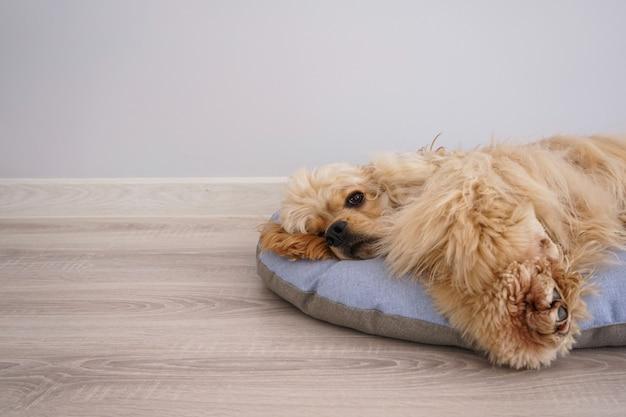 Cocker spaniel welpe, der auf seinem neuen hundebett ruht, platz für text