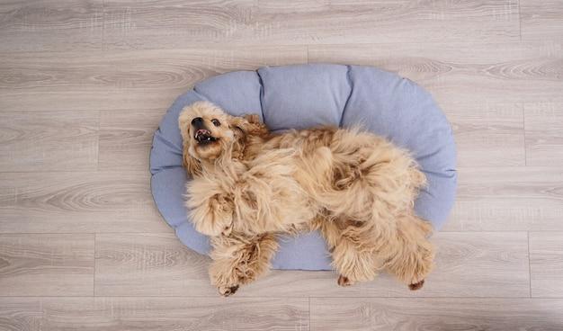 Cocker spaniel welpe ruht auf seinem neuen hundebett, flach lag.