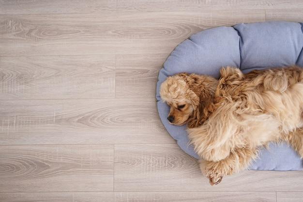Cocker spaniel welpe ruht auf seinem neuen hundebett, platz für text. flach liegen.