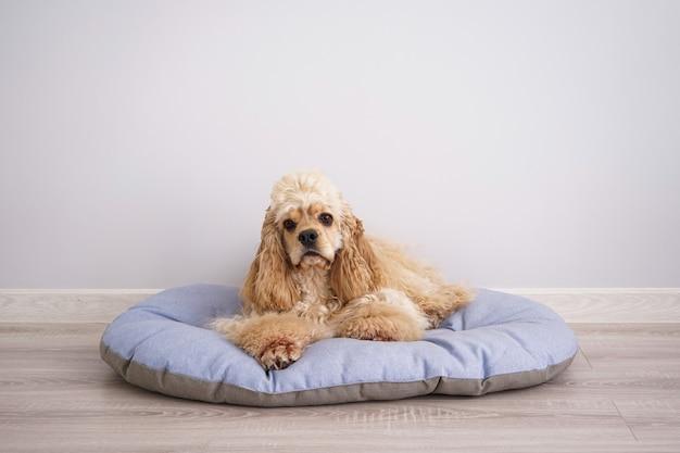 Cocker spaniel welpe ruht auf seinem neuen hundebett, platz für text
