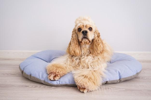 Cocker spaniel welpe ruht auf seinem neuen hundebett.
