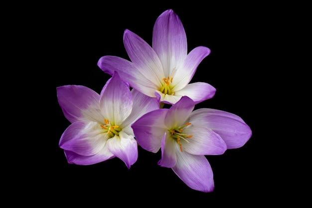 Colchicum herbstale. krokusse im herbst. violette blüten der pflanzenfamilie colchicaceae auf dunklem hintergrund.