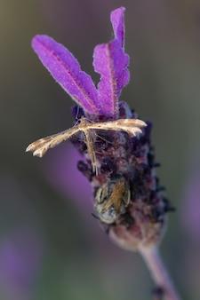 Coleophora alticolella ist eine motte aus der familie der coleophoridae