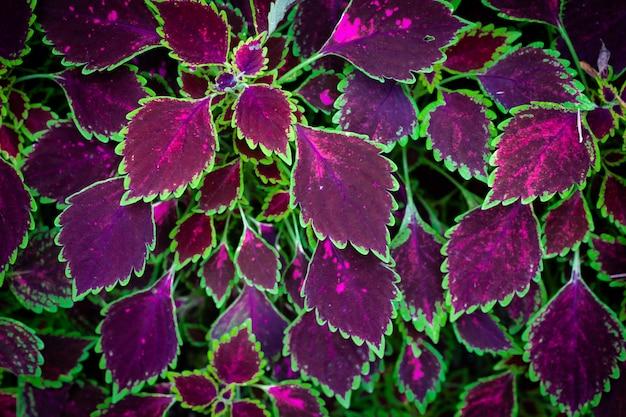 Coleus-pflanzen in lila und grüner farbe.