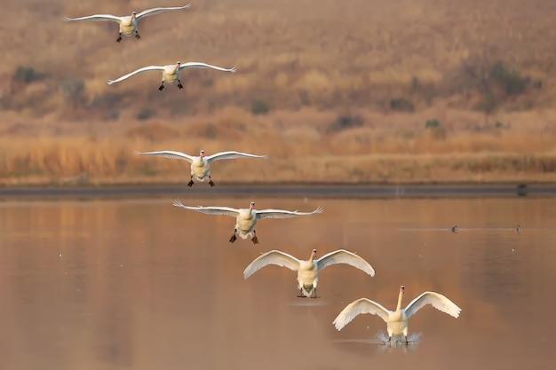 Collage mehrerer bilder einer landung eines schwans auf dem wasser