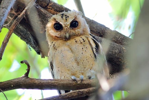 Collared scops eule otus sagittatus schöne vögel von thailand
