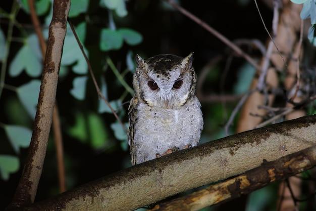 Collared scops owl otus sagittatus schöne vögel von thailand