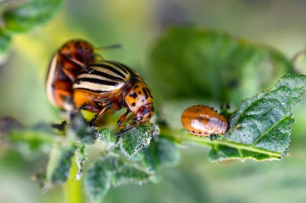 Colorado-käfer, die sich während des sitzens auf einem kartoffelbusch paaren