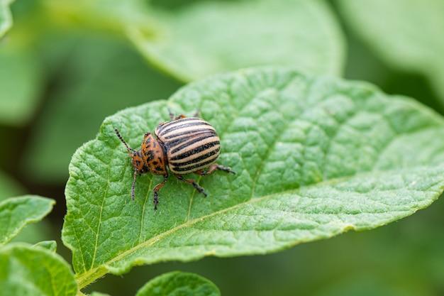 Colorado käfer oder kartoffelwanze auf grünem kartoffelpflanzenblatt
