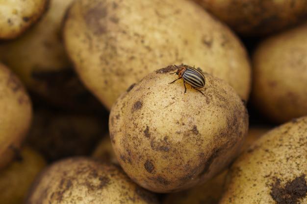 Colorado-käfer sitzt auf roher kartoffel, schädling bei ernte