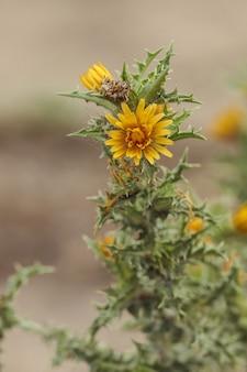 Colymus hispanicus, die spanische austerndistel, die gemeine goldene distel,