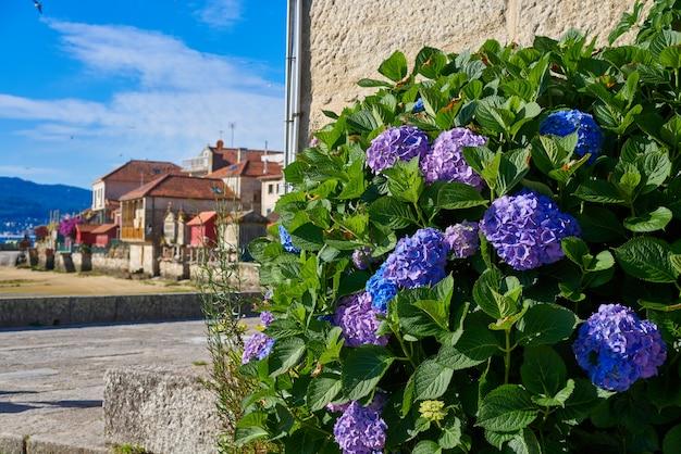 Combarro-hortensien blühen galizisches dorf