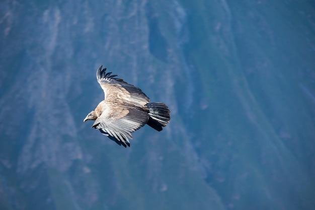Condor flug