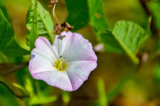 Convolvulus arvensis (ackerwinde) ist eine ackerwinde. es ist eine kletternde oder kriechende krautige mehrjährige pflanze.