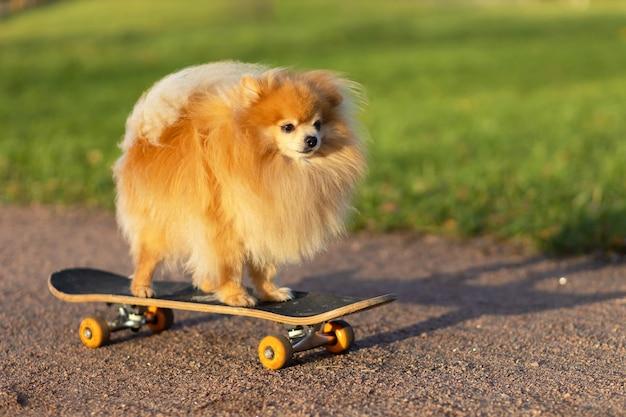 Cooler pommerscher spitz, der im skateboard reitet