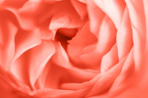 Coral rose flower makrofotografie nahaufnahme von blütenblättern