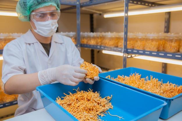 Cordyceps-bauernhof im sauberen chinesischen krautgesundheits-ideenkonzept des labors an hand des landwirts im bauernhof.