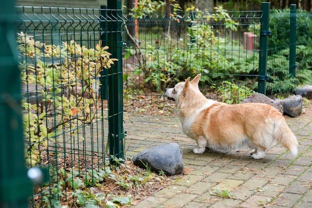 Corgi-hund auf der straße im hof auf herbsthintergrund