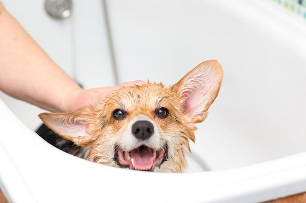 Corgi-hund, der im badezimmer wäscht