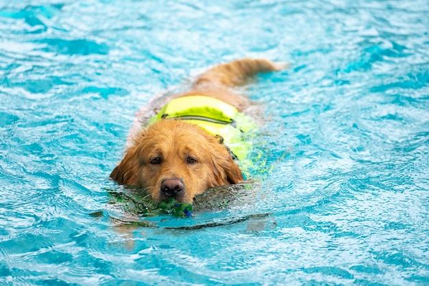 Corgi-hundewelpen spielen im schwimmbad