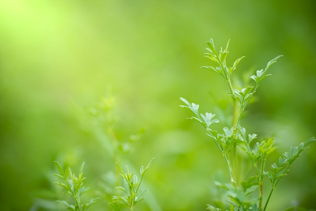 Coriandrum spp auf grünem naturhintergrund und morgensonnenlicht am biohof.