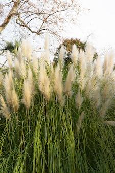 Cortaderia selloana, pampasgras große flauschige ährchen von weißer und silberweißer farbe gegen den himmel, natürlicher hintergrund