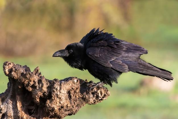 Corvus corax, rabe