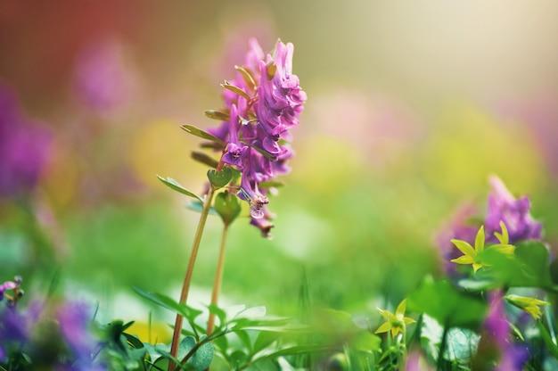 Corydalis cava, violette frühlingsblumen von corydalis, makro, nahaufnahme