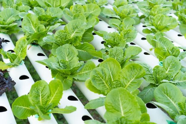 Cos romaine salat hydroponisch
