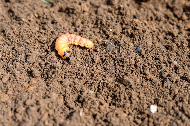 Cossus cossus raupe eines holzwurms, der nach schädlingen oder weideninsekten auf dem boden riecht