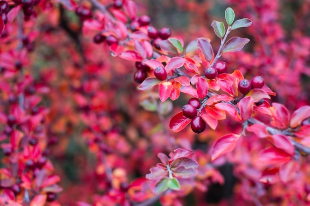 Cotoneaster horizontalis pflanze