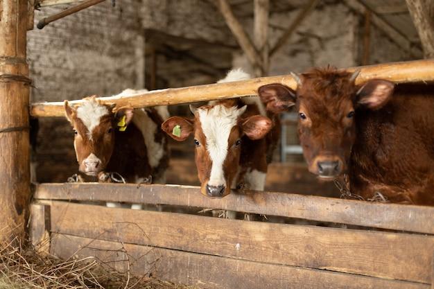 Cows inside barn in farmland stallinnenraum mit ein paar markierten kühen