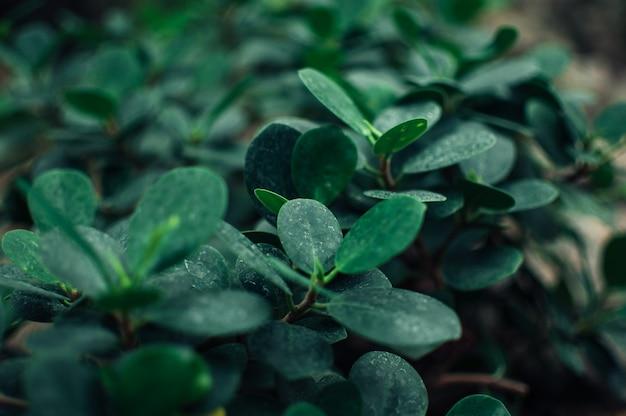Crassula ovata jade sukkulente, jadepflanze, freundschaftsbaum, glückliche pflanze oder geldbaum. blätter einer immergrünen pflanze. natürlicher hintergrund aus blättern von crassula