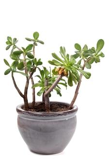 Crassula ovata sukkulente pflanze