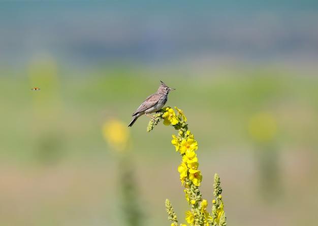 Crested lark sitzt auf einer leuchtend gelben pflanze