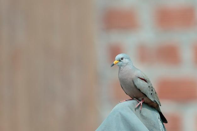 Croaking ground-dove (columbina cruziana), ein wunderschönes exemplar der peruanischen turteltaube im erwachsenenstadium thront. lima, peru