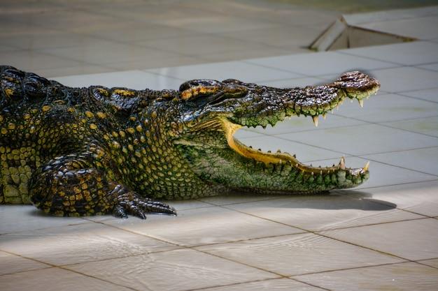 Crocodile.crocodiles ruhen auf der crocodile farm in thailand.