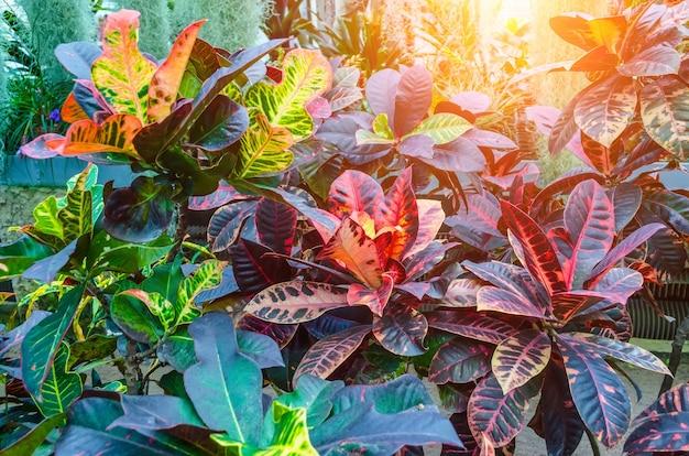 Croton codiaeum variegatum pflanzen mit bunten blättern im tropischen garten.