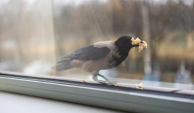 Crow isst brot und füllt seinen mund