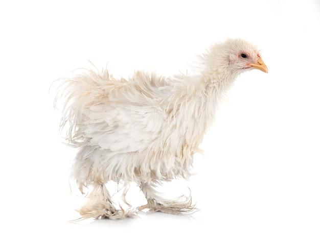 Curly cochin chicken vor weißem hintergrund