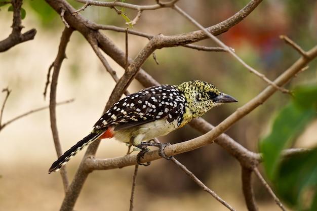 D'arnauds barbet im serengeti-nationalpark - tansania